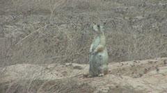 P01868 Pregnant White-tailed Prairie Dog at Dinosaur National Park Stock Footage