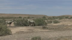 P01882 Sheep Grazing on Bureau of Land Management in Desert Stock Footage