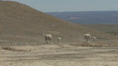 P01885 Sheep Walking in the American Southwest Desert Stock Footage