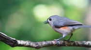 Stock Video Footage of Tufted Titmouse