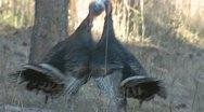 P01888 Wild Turkeys Fighting Stock Footage