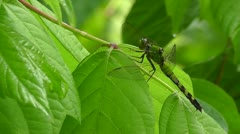 Amid Nature - Emerald Dragonfly on Spring Leaves  HD 1920 x 1080 Stock Footage