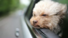 Cute Shipoo Dog Puppy Looks Out Car Window Stock Video - stock footage