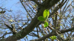 First leaves Stock Footage