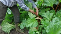 Harvest rhubarb in the organic garden in the springtime Stock Footage
