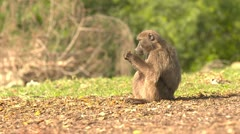 Baboon eating - stock footage