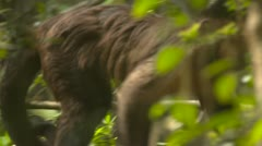 Cappuchin monkey in the trees Stock Footage