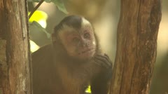 Cappuchin monkey eating by tree Stock Footage