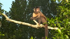 Cappuchin monkey on branch - stock footage
