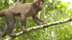 Cappuchin monkey on branch Stock Footage