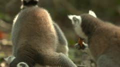 Ringtail lemurs Stock Footage