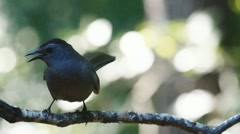 Gray Catbird Vocals Stock Footage