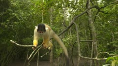 Squirrel monkey on branch - stock footage