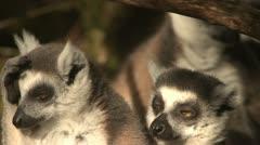 Ringtail Lemur monkeys grooming - stock footage