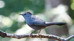 Gray Catbird Profile Stock Footage
