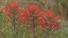 P01896 Paintbrush Flower at Dinosaur National Monument Stock Footage