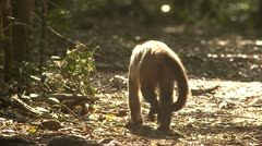 Cappuchin monkey walking away Stock Footage