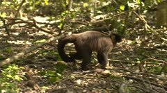 Cappuchin monkey eating Stock Footage