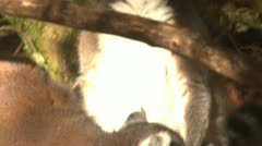 Ringtail Lemur monkeys together Stock Footage