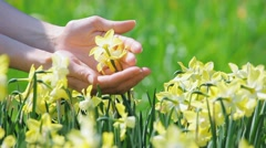 Yellow narcissus flowers caressed by woman hands Stock Footage