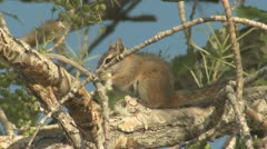 P01912 Chipmunk Feeding on Cottonwood Fruit at Capital Reef National Park Stock Footage
