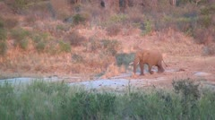 Bull Elephant Walking  Stock Footage