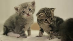 Stock Footage - Kittens Playing  - Med Close up - Very Cute Stock Footage