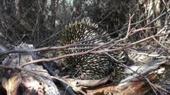 Eastern Short Beaked Echidna Stock Footage