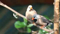 Finches sitting on a branch in the forest Stock Footage