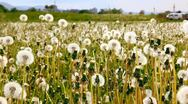 Dandelions farm with nice weather Stock Footage