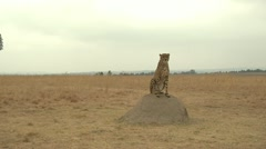 Cheetah on a rock - stock footage