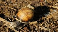 Stock Video Footage of edible snail