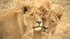 Lionesses together walk to lion Stock Footage