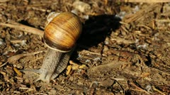 Edible snail Stock Footage
