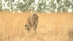 Cheetah walking towards camera - stock footage