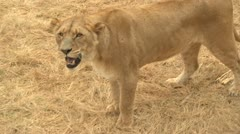 Lioness hissing close up Stock Footage