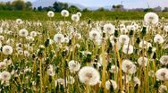 Stock Video Footage of Alot of Dandelions on farm