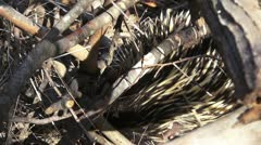 Eastern Short Beaked Echidna - stock footage