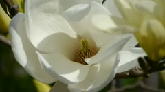 Beautiful magnolia bloom in sunshine. Stock Footage