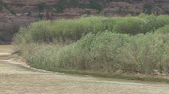 P01935 Tamarisk aka Salt Cedar on Island in Colorado River - stock footage