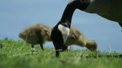 Baby Geese Grazing on Riverbank Stock Footage