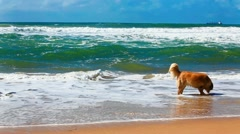 Golden retriever fetching stick on a beach Stock Footage