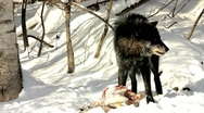 Stock Video Footage of A Wild Gray Wolf Feed on a Deer Carcass (wild wolf photographed from a blind)