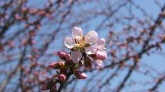 Spring Pink Flower (Armeniaca mandshurica) Stock Footage