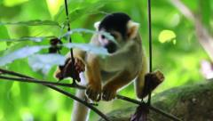A cute and wild Squirrel Monkey (Saimiri boliviensis) in the Peruvian Amazon Stock Footage