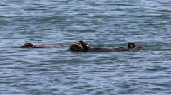 An Endangered Sea Otter and Her Baby Play and Clean in the Waters of California - stock footage
