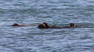 Stock Video Footage of An Endangered Sea Otter and Her Baby Play and Clean in the Waters of California