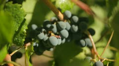 Grapes on vine for wine Stock Footage