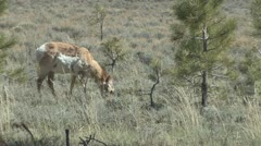 P01972 Pronghorn Antelope at Bryce Canyon National Park Stock Footage