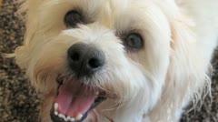 AUSTRALIA-DOG-MALTESE CROSS 1 Stock Footage